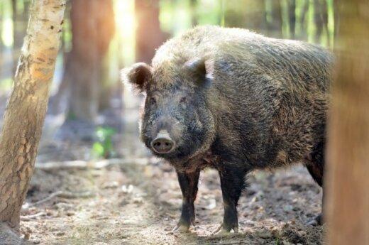 Wild boar with ASF found near Idavang pig farm in Lithuania