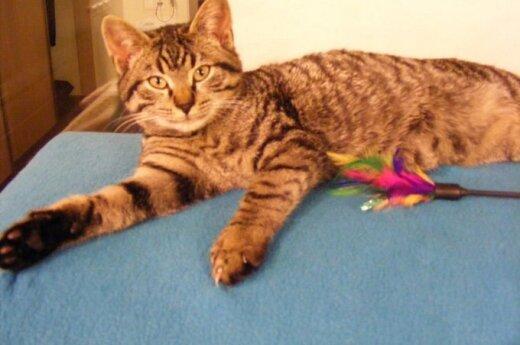 Gražuolis katinėlis Vudstokas ieško namų