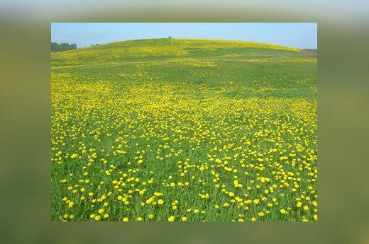 Kiaulpienės, pieva, pavasaris, šiluma, gėlės