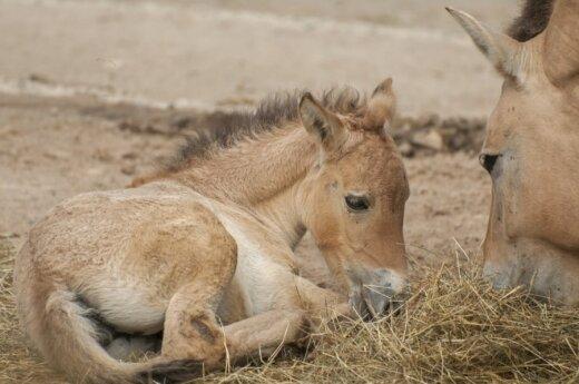 Prževalskio arklio jauniklis