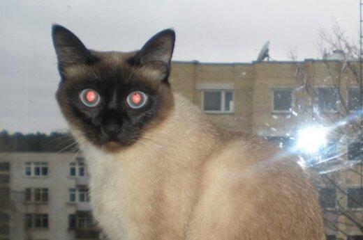 Vilniuje dingo Siamo veislės katytė