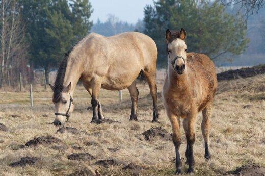 Arkliai ganosi pievoje