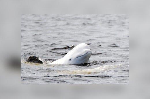 Podsłuchiwani przez wieloryby?