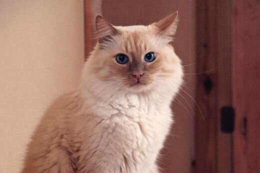 Savaitgalį Šiauliuose vyks nemokama kačių paroda