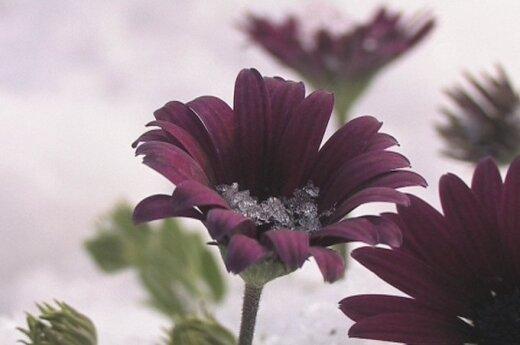 Ledo gėlės