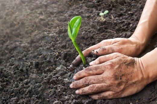 Agronomas pataria: ką vertėtų atsiminti persodinant daigus į dirvą