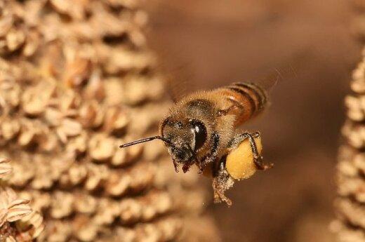 Paprastoji bitė