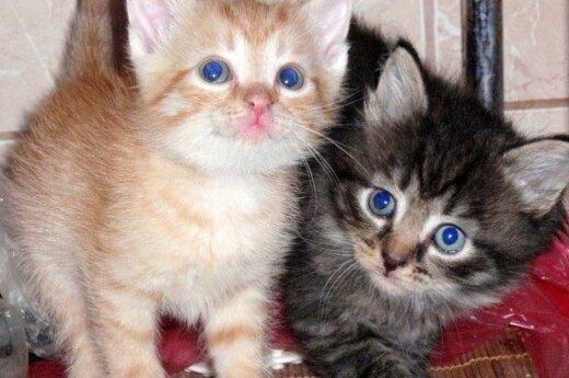 Tobuli kačiukai laukia žinių apie naujus namus