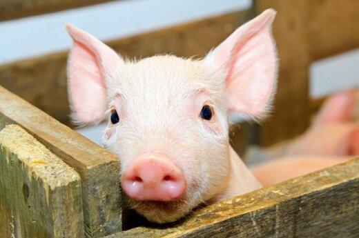 Литва на защиту от чумы свиней хочет получить 11,4 млн. литов помощи