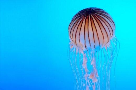 Keisčiausi 2011-aisiais atrasti gyviai - gentainėmis mintanti medūza