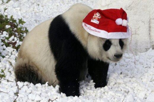 Kinijos Dziameno miesto zoologijos sode šventiškai pasipuošė ir panda.