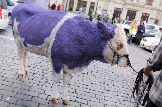 Fioletowe krowy na wileńskiej starówce