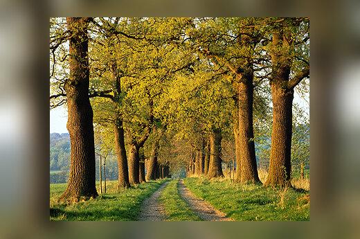 Ąžuolas, medis, gamta