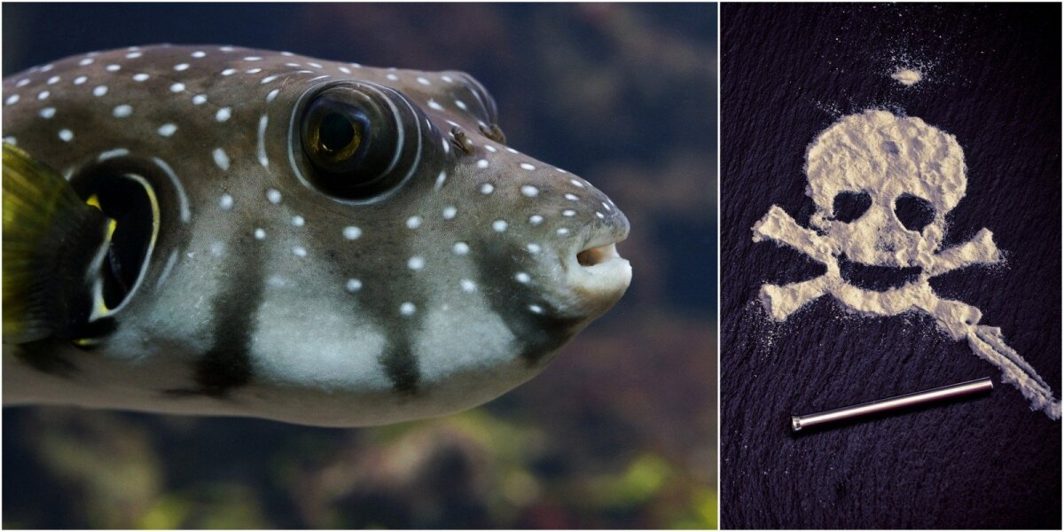 Koliažas: fugu žuvis ir kokainas