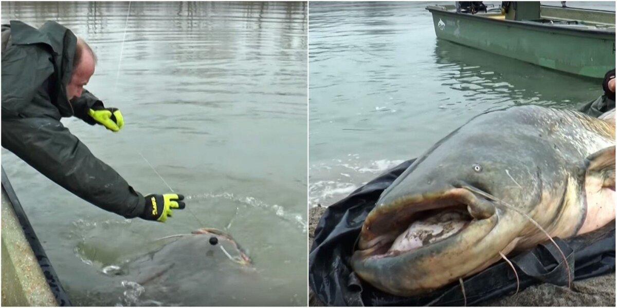 Po upėje sugautas šamas monstras