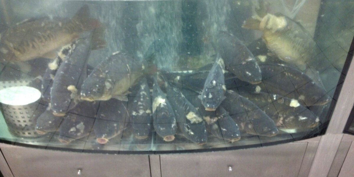 Karpiai akvariume