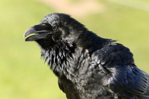 Kruki i wrony są uczulone na nieuczciwość