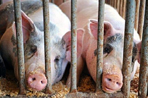 Litwini wolą sprzedawać świnie Polakom, a nie swoim