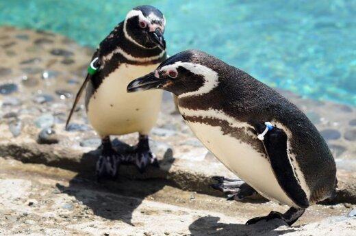 Brazylia: Masowa śmierć pingwinów