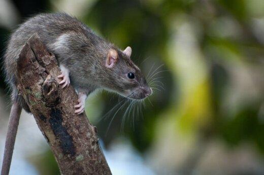 Japonia: O nową awarię w Fukushimie oskarżono szczura