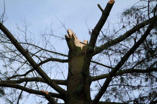 Na cmentarzu w Kownie drzewo zraniło dwie kobiety