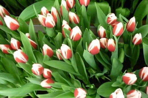 Sostinėje - retų tulpių paroda